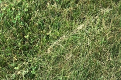"""Close-up of a brown, hazy lawn after mowing showing signs of dead debis. Improper mowing and """"mulching"""""""