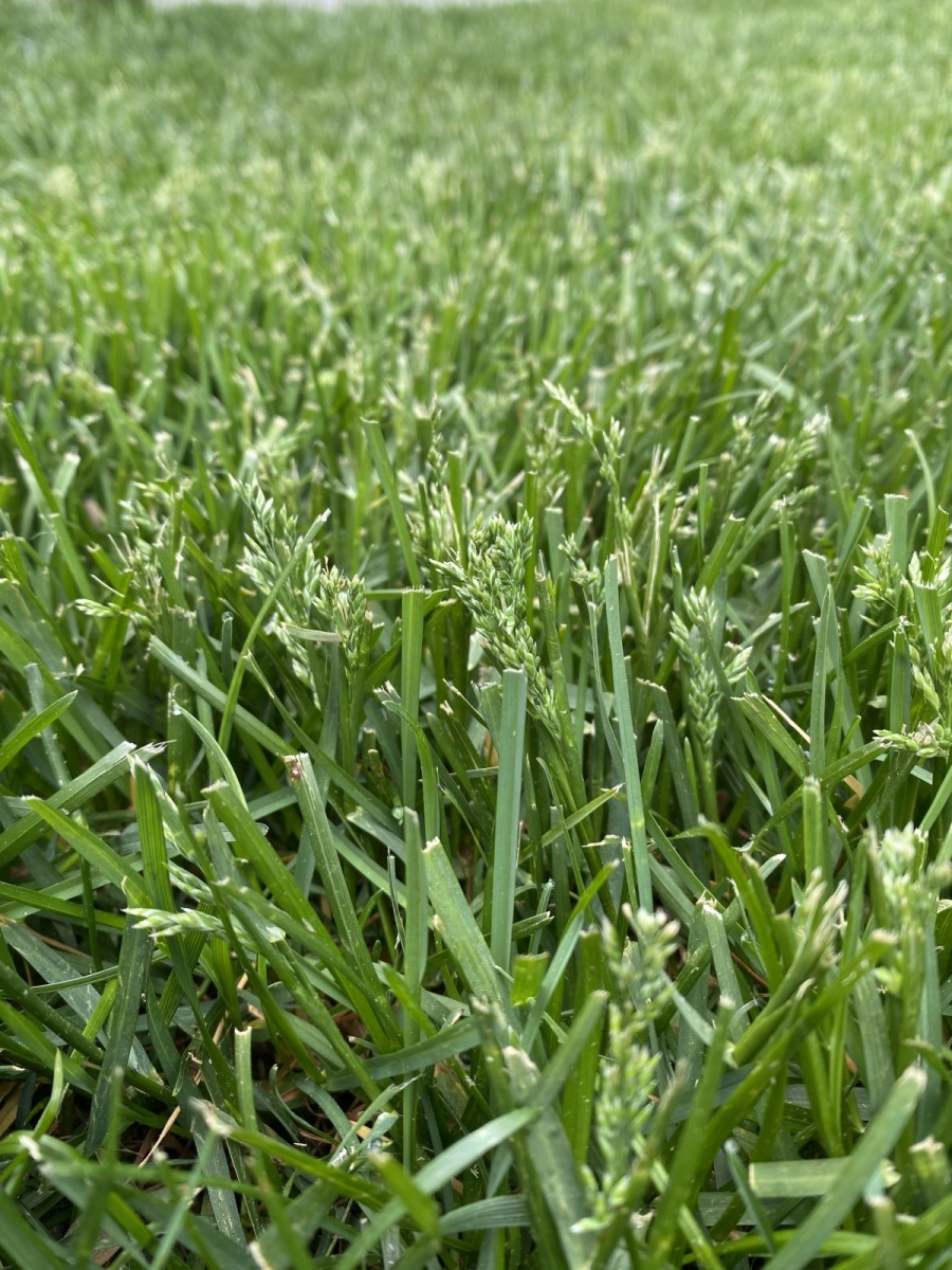 grass-going-to-seed