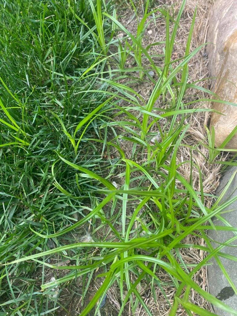 nutsedge-weeds