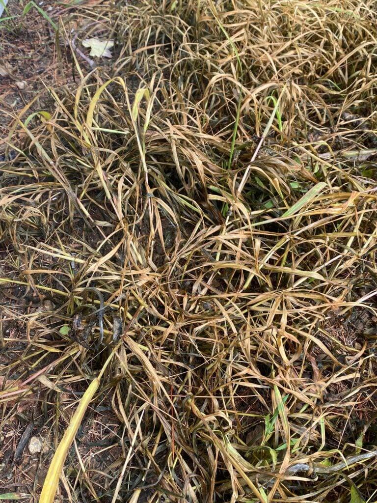 large crabgrass post crabgrass killer