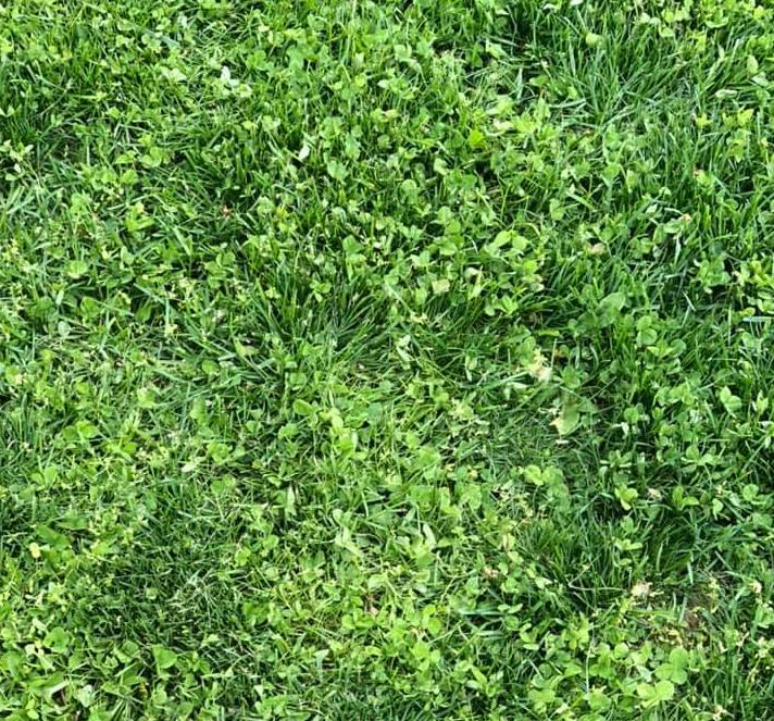 clover-without-white-flowers